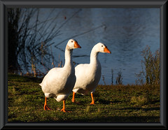 (Laszlo Papinot) Tags: goose geese bird challenge lake grass reed water fotf freestyleonthefifth theme