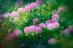 Rhododendron (judy dean) Tags: gardens judydean 1835mm scotland 2019 mellerstain rhododendron bush flowers texture ps pink coth5