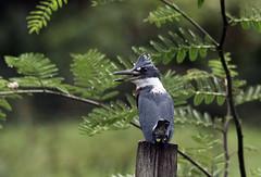 Megaceryle torquata (mazama973) Tags: bird oiseau frenchguiana guyane guyanefrançaise alcedinidae megaceryletorquata martinpêcheuràventreroux ringed kingfisher