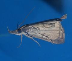 Spike tip snout Moth Hypena conscitalis Hypeninae Erebidae Noctuoidea Airlie Beach rainforest P1160990 (Steve & Alison1) Tags: spike tip snout moth hypena conscitalis hypeninae erebidae noctuoidea airlie beach rainforest