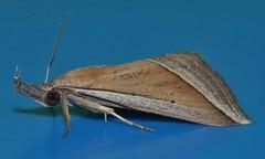 Spike tip snout Moth Hypena conscitalis Hypeninae Erebidae Noctuoidea Airlie Beach rainforest P1160994 (Steve & Alison1) Tags: spike tip snout moth hypena conscitalis hypeninae erebidae noctuoidea airlie beach rainforest