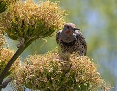 Gilded Flicker (AllHarts) Tags: gildedflicker desertbotanicalgarden phoenixaz feathersbeaks ourwonderfulandfragileworld nature