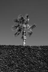 Palm tree (suebr) Tags: 2019 france summicrontl23mmf2 leicacldigital leica noiretblanc palmier monochrome bw bnw blackandwhite tree palmtree sooc