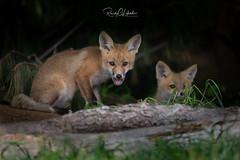 Red Fox - Vulpes vulpes   2019 - 7 (RGL_Photography) Tags: carnivora fox foxkits gardenstate jerseyshore kits monmouthcounty mothernature newjersey nikond5 nikonafs600mmf4gedvr redfox us unitedstates vulpesvulpes wildkingdom wildlife wildlifephotography