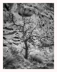 Dead Tree (www.halkaphoto.com) Tags: usa americansouthwest utah capitolreef nationalpark capitolgorge canyon sandstone tree trunk rocks formation desert desertplants arid bw monochrome