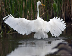 Great Egret (Arvo Poolar) Tags: outdoors ontario canada scarborough scarboroughbluffs arvopoolar greategret water wings reflections fish marsh nature naturallight natural naturephotography nikond500