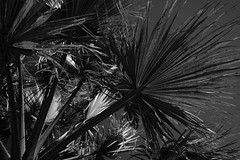 Palm tree (suebr) Tags: 2019 france summicrontl23mmf2 leicacldigital leica noiretblanc palmier monochrome bw bnw blackandwhite spring branches tree palmtree