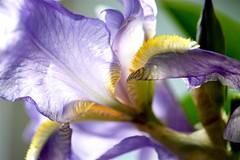 Purple Iris (helensaarinen) Tags: iris macro floral spring purple