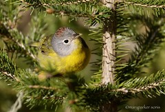 Nashville Warbler (Mary Sonis) Tags: warbler nashville bird quebec fjorddusaguenay