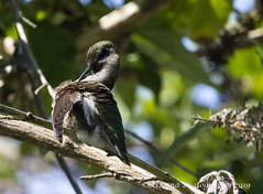 Hummingbird - not even a hummingbird can pull off a cleaning while looking cool (CGDana) Tags: bird avian spring pnw washington pugetsound canon 7d mkii