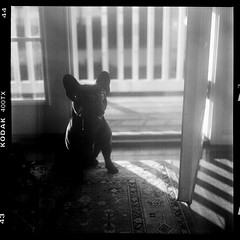 rico on medium format (Duke of Gnarlington) Tags: yashica mat 124 kodak trixx 400 black white bw dog frenchie french bulldog puppy drool