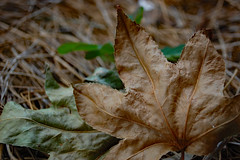 Fallen Leaves. (dccradio) Tags: lumberton nc northcarolina robesoncounty outdoor outdoors outside nature natural flowergarden leaf leaves pinestraw pinebedding nikon d40 dslr june summer tuesday tuesdaynight tuesdayevening evening fallen grounded ground photooftheday photo365 project365