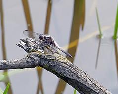 A Chalk-Fronted Corporal Dragonfly (Eat With Your Eyez) Tags: chalkfrontedcorporalchalkfrontedcorporaldragonflyodonateodonatadragonfliesinsectinsectbugsbuganimalwingflyflyingbeautifulrarethomas westvirginiapanasonicfz1000