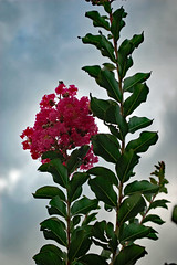 First Crape Myrtle Blossoms This Season. (dccradio) Tags: lumberton nc northcarolina robesoncounty outdoor outdoors outside nature natural nikon d40 dslr june summer tuesday tuesdayevening goodevening tuesdaynight crapemyrtle crepemyrtle flower flowering flowers floweringtree floral bloom blooming blossom blossoms blooms blossoming leaf leaves greenery foliage plant sky eveningsky