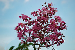 Crape Myrtle In Bloom. (dccradio) Tags: lumberton nc northcarolina robesoncounty outdoor outdoors outside nature natural nikon d40 dslr june summer tuesday tuesdayevening goodevening tuesdaynight crapemyrtle crepemyrtle flower flowering flowers floweringtree floral bloom blooming blossom blossoms blooms blossoming leaf leaves greenery foliage plant sky eveningsky