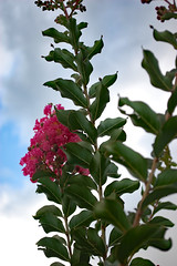 Crape Myrtle And Sky. (dccradio) Tags: lumberton nc northcarolina robesoncounty outdoor outdoors outside nature natural nikon d40 dslr june summer tuesday tuesdayevening goodevening tuesdaynight crapemyrtle crepemyrtle flower flowering flowers floweringtree floral bloom blooming blossom blossoms blooms blossoming leaf leaves greenery foliage plant sky eveningsky