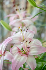 Infinity lilies (Tim Brown's Pictures) Tags: washingtondc logan summer lily lilies summerlily summerlilies flowers blooming blossoms pink stamen washington dc unitedstates