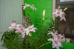 Lilies dance (Tim Brown's Pictures) Tags: washingtondc logan summer lily lilies summerlily summerlilies flowers blooming blossoms pink stamen washington dc unitedstates