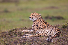 Resting and Surveying (Xenedis) Tags: acinonyxjubatus africa afrika amani animal bigcat cat cheetah duma eastafrica grass kenya maasaimara maranorthconservancy narokcounty plains republicofkenya riftvalley safari savannah wildlife