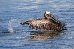 Brown Pelican Water Takeoff (dbadair) Tags: outdoor seaside shore sea water nature wildlife 7dm2 7d ii ef100400mm ocean canon florida bird bif flight