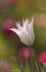 tulip in love (Diana Ruder Photography) Tags: tulip macro beautiful beauty bokeh blooming light sun delicat detail flower spring springful white nature naturfotografie