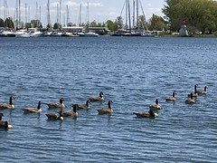 """""""When you cross paths with another, dare to make them smile.""""   -― Steve Maraboli (Trinimusic2008 -blessings) Tags: trinimusic2008 judymeikle nature june 2019 spring mimico waterfrontrecreationaltrail asharedpath toronto to ontario canada lake lakeontario geese iphone sailboats lighthouse"""