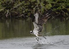 Just after impact (woodwindfarm) Tags: osprey fish capture flying bif bird flight sundaylights
