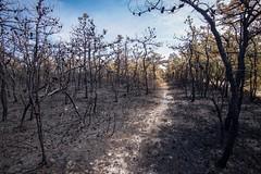 burnt trails (primemundo) Tags: trails pines njpinebarrens pinebarrens bassrivernorth burnt ash woods nj