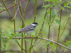 Blackpoll Warbler (1) (Estrada77) Tags: nature birds animals outdoors nikon wildlife small birding warbler cookcounty warblers may2019 nikond500200500mm spring2019