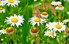 Butterflies and flowers on a sunny spring day. (M Rosen) Tags: butterfly flower daylight outdoors nature landscape yellow green garden nikon nikkor daisy bee spring z6 mirrorless beauty usa national summer blossom virginia blooms flowers white