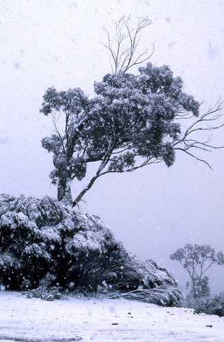 Snow on Cliff Drive, Katoomba, July 1987