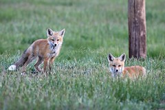 619-4 (SunshinePix) Tags: fox wildlife kits