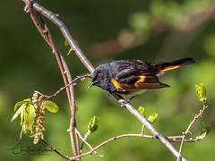 American Redstart Male (ChristineDarnell) Tags: bird singbird americanredstart