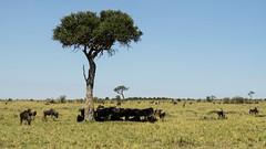 Natural Umbrella (BikerBoy33) Tags: kenya tree shade landscape wildlife wildebeest african safari masai maasai mara park reserve travel sony alpha a6000