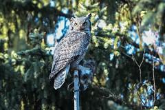 Great Horned Owl (mobull_98) Tags: greathornedowl owl