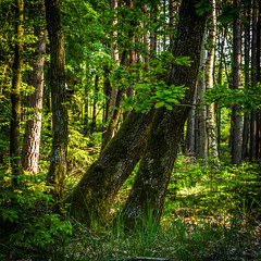 A forest still (Petr Sýkora) Tags: les forest trees nature green photography outside