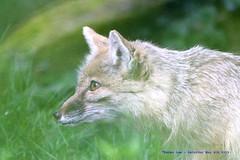 Focused.......... (law_keven) Tags: corsacfox france paris photography wildlife animals wildlifephotography menageriejardindesplantes animal animalphotography