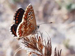 SALTO AL ABISMO (A LEAP OF ABYSS) (Pedro Muñoz Sánchez) Tags: mariposa butterfly macro macrofotografia macrophotografy nature colors