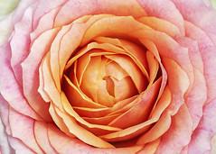 radiate (rockinmonique) Tags: muttartconservatory flower bloom blossom petal filltheframe pink orange texture canon canont6s tamron tamron90mm copyright2019moniquewphotography