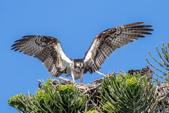 Osprey Chick Learning To Fly (dbadair) Tags: outdoor seaside shore sea sky water nature wildlife 7dm2 7d ii ef100400mm ocean canon florida bird