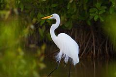 Great egret (Ardea alba) - Playa Pesquero, Holguin, Holguín Province, Cuba - Feb 2019 (Dis da fi we) Tags: great egret ardea alba playa pesquero holguin holguín province cuba