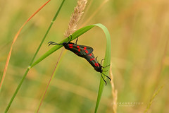 Summer loving (srepton) Tags: insects nature naturephotography moths burnetmoths insectphotography bokeh bokehphotography morning