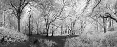 HORSENDEN HILL 17 (Nigel Bewley) Tags: horsendenhill ealing greenford perivale london england uk unlimitedphotos nigelbewley photologo june june2019 canonef1635mmf28lusm canon5dmkii 830nm infrared digitalinfrared advancedcameraservices blackandwhite blackwhite creativephotography artphotography amateurphotographer appicoftheweek woods trees panorama stitch horsendenwood