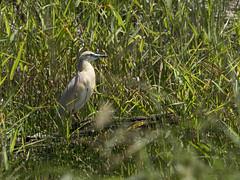 Crabier chevelu (Denis Fiel) Tags: crabier chevelu ardeola ralloides squacco heron oiseau bird brenne