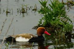 DSC03299 - Red crested Pochard (steve R J) Tags: red crested pochard south hanningfield reservoir ewt reserve essex birds british