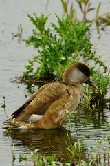 DSC03313 - Female Red crested Pochard (steve R J) Tags: red crested pochard south hanningfield reservoir ewt reserve essex birds british