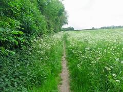 Footpath (msganching) Tags: footpath cow parsley saffronwalden tocw swc esses english countryside swcwalk130