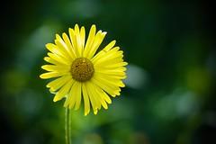 Marguerite (michel David photography) Tags: flower fleur jaune yellow marguerite