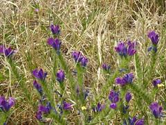 Flores Malagueños (A J Hammond) Tags: floresmalagueños malaga 2019 echium