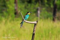 Gruccione - Merops apiaster (francescociccotti1) Tags: gruccione uccelli birdwatching colori posatoi cacciatoridiinsetti